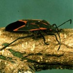 box elder beetle