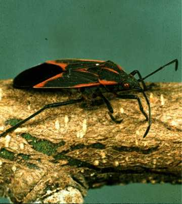 box elder beetle