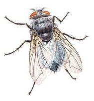 house-fly